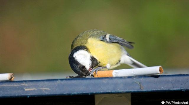 Zogjtë pinë cigare  Shkencëtarët zbulojnë të vërtetën